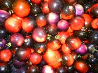 indigo rose tomatoes Harvest # 18 2014
