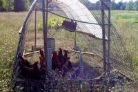 hoopcoop chickens on pasture 2010